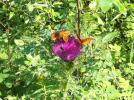 Three butterflies and one bumble bee all on one flower.